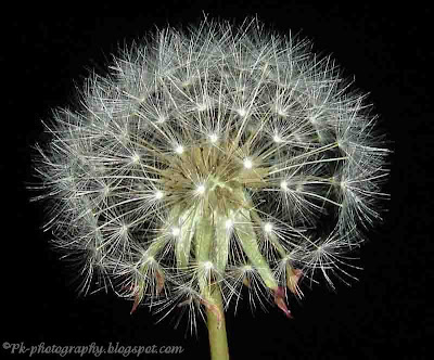 Beautiful Dandelion Clock