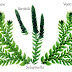 The morphological nature of rhizophore of Selaginella...