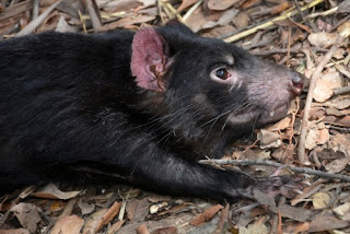 The Tasmanian Devil's fierce reputation is exaggerated. It is not friendly to evolutionary explanations of it's origin.