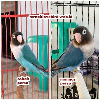perbedaan lovebird biru mangsi dan biru cobalt