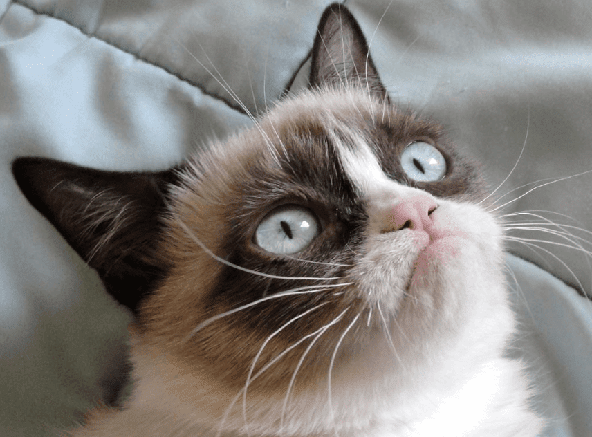 Grumpy Cat, The Internet Celebrity That Launched A Thousand Memes, Is Dead At 7