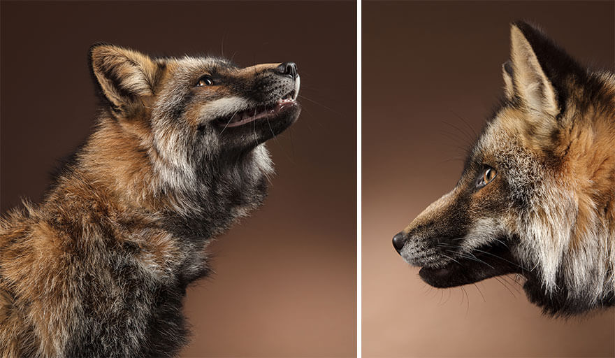 This Photographer Captures Foxes In Her Studio, And The Results Are Breathtaking
