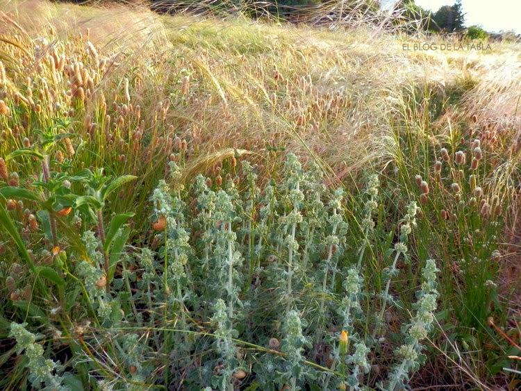 Artemisia assoana Willk.; Plantago lagopus