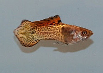 Ikan Guppy Spade Tail