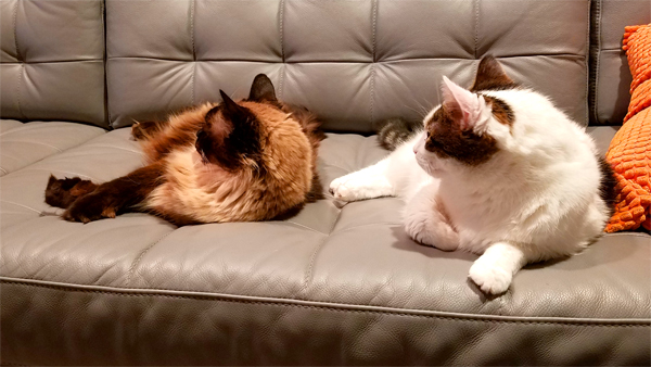 image of Matilda the Fuzzy Sealpoint Cat and Olivia the White Farm Cat lying on the sofa next to each other