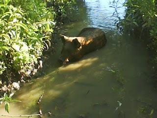 chancho nadando