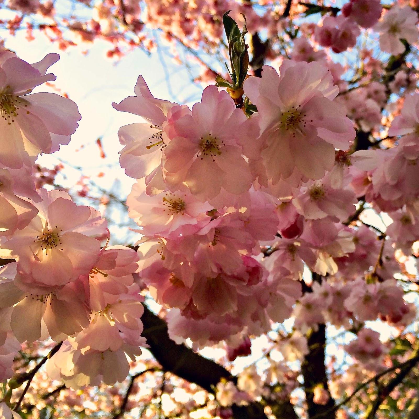 Bispebjerg Kirkegård Japanske kirsebærtræer - Anya Jensen Photography