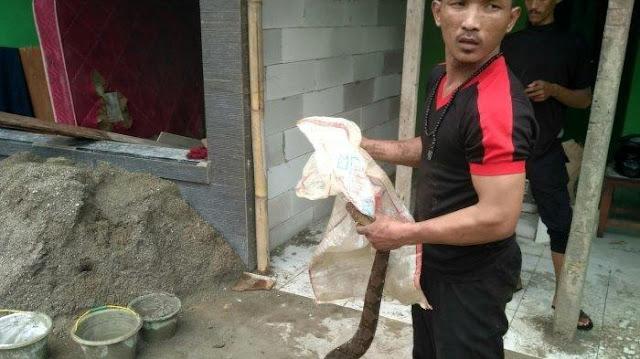 Ular Besar Sepanjang 3 Meter Kepergok Bocah di Dekat Pabrik Tahu