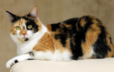 Unduh 61+  Gambar Kucing Belang Terbaik Gratis