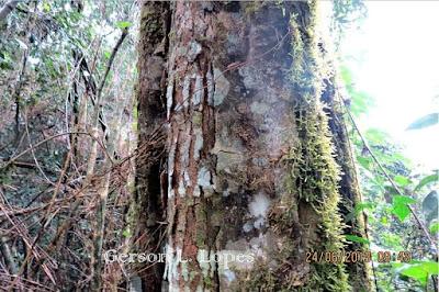 Holocalyx balansae tronco