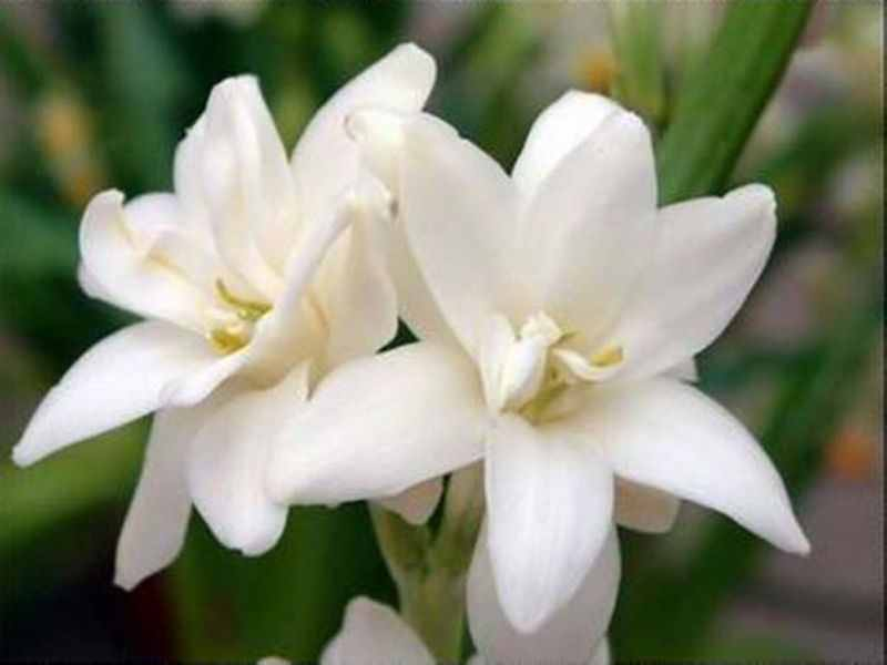 Pictures Of Tuberose 3