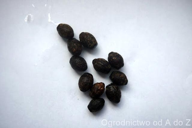 Mirabilis longiflora- seeds