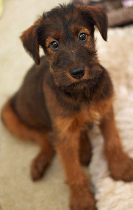 in otter news obi wan the irish terrier. Black Bedroom Furniture Sets. Home Design Ideas