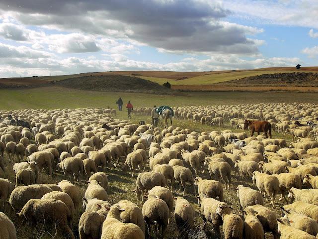 Resultado de imagem para gado ovino wallpaper