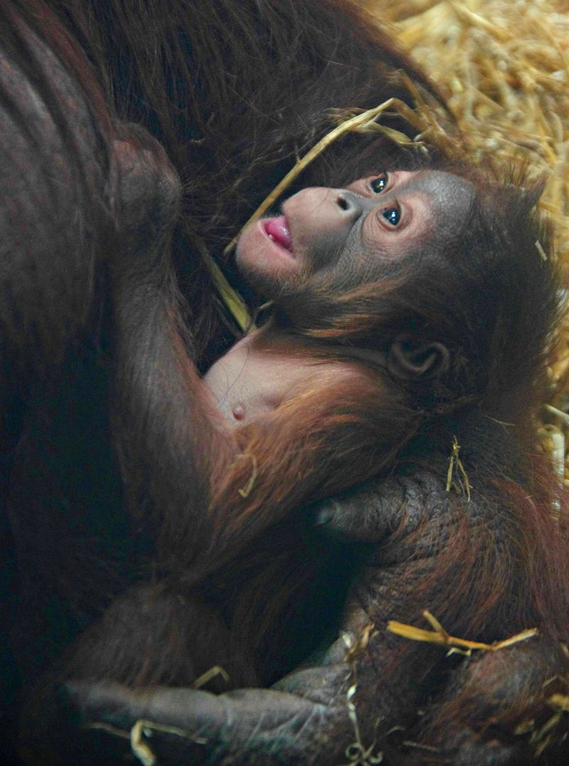 Baby Animals: Baby Orangutan 1