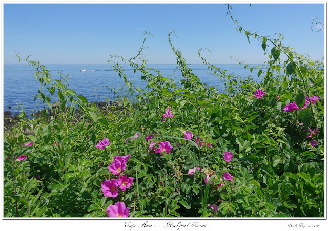 Cape Ann: ... Rockport blooms...