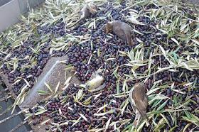 Περιβαλλοντική καταστροφή: εκατομμύρια μεταναστευτικά πτηνά στην Κόρδοβα σκοτώθηκαν από τη νυκτερινή υπερ-εντατική συγκομιδή του ελαιώνα