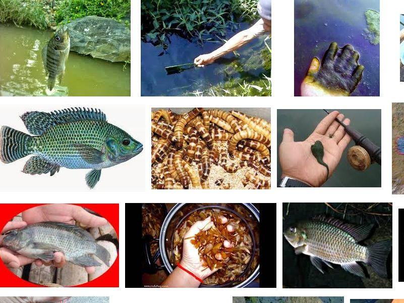 Ini Dia Umpan Ikan Mujair Dan Cara Mancing Yang Tepat