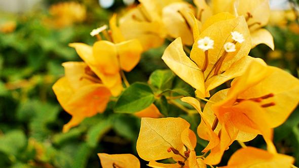 hoa giấy màu vàng đẹp