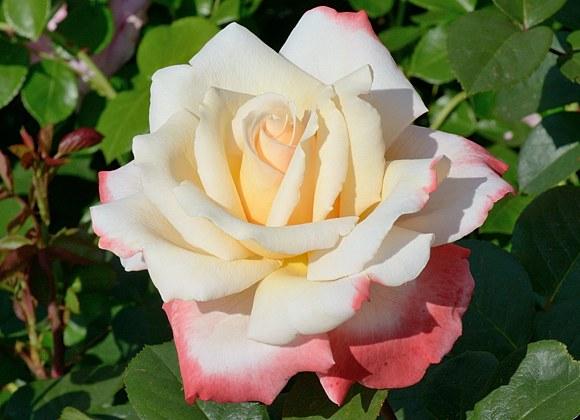 Laetitia Casta сорт розы фото купить саженцы в питомнике Минск Кузнецов отзывы