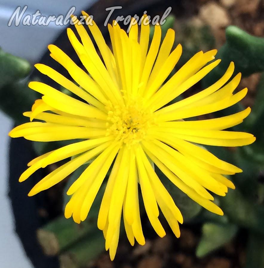 Detalles de la flor de la planta suculenta Cuernos de Alce, Rhombophyllum dolabriforme