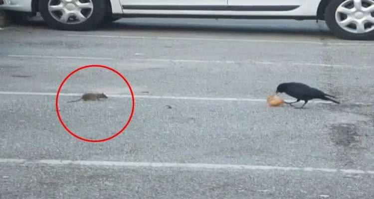 Intelligent Crow Goes Out Of Its Way To Share Lunch With A Hungry Mouse
