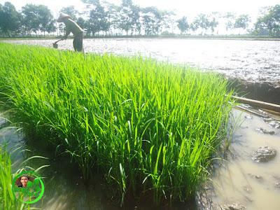 Pengolahan tanah swah untuk ditanami padi