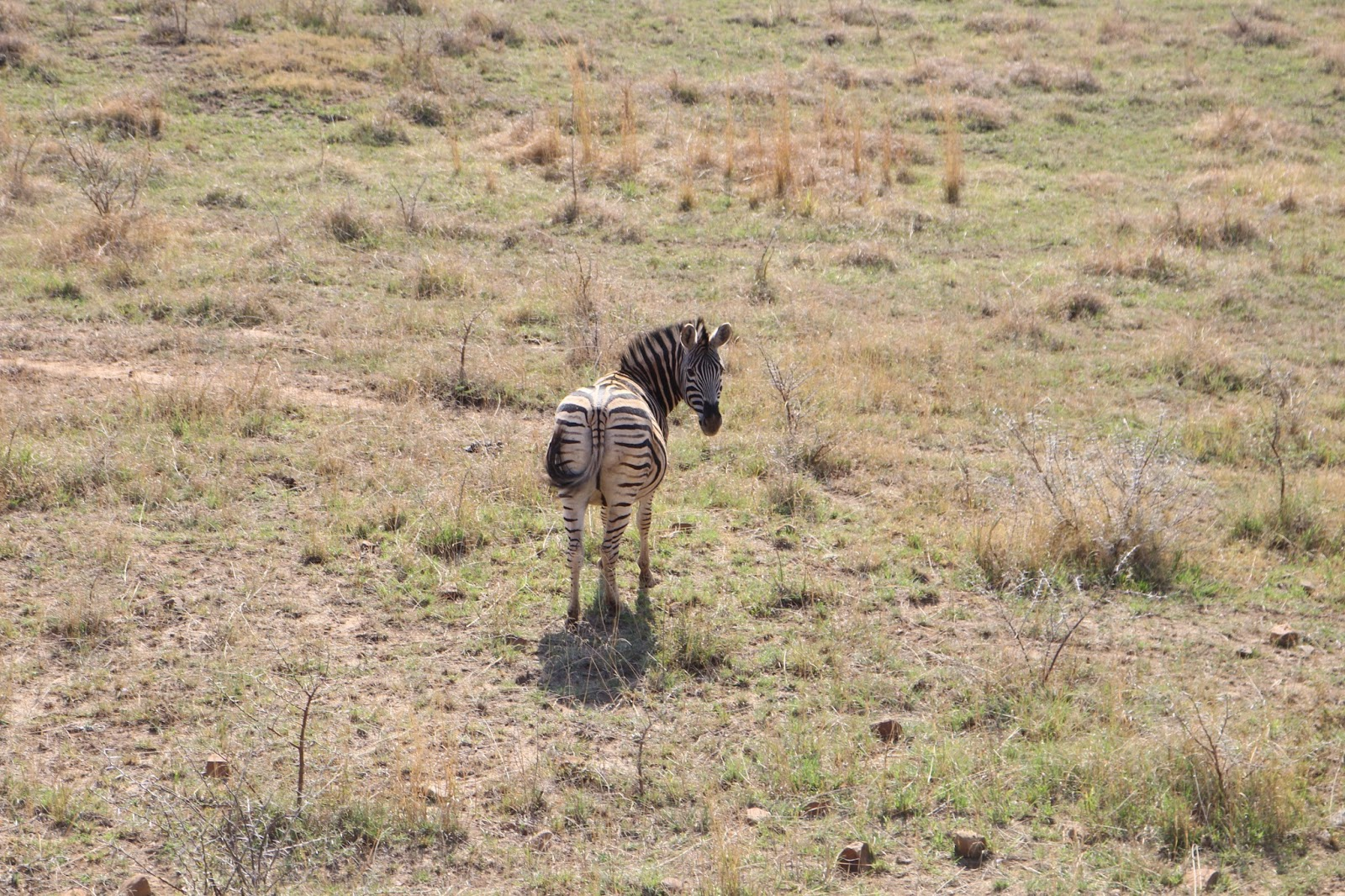 Zebra in Spioenkop Game Reserve, South Africa