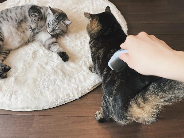 お尻を突き出しブラッシングされているキジトラ猫