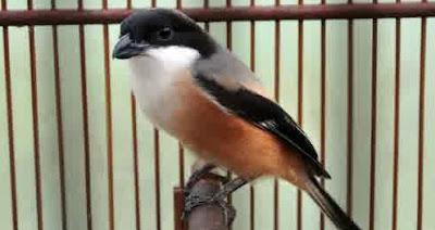 Burung Cendet atau Burung Pentet/Bentet