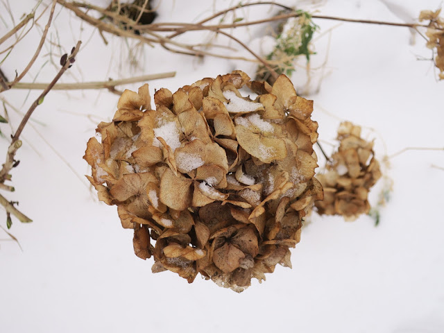 Dead hydrangea flower with snow as background