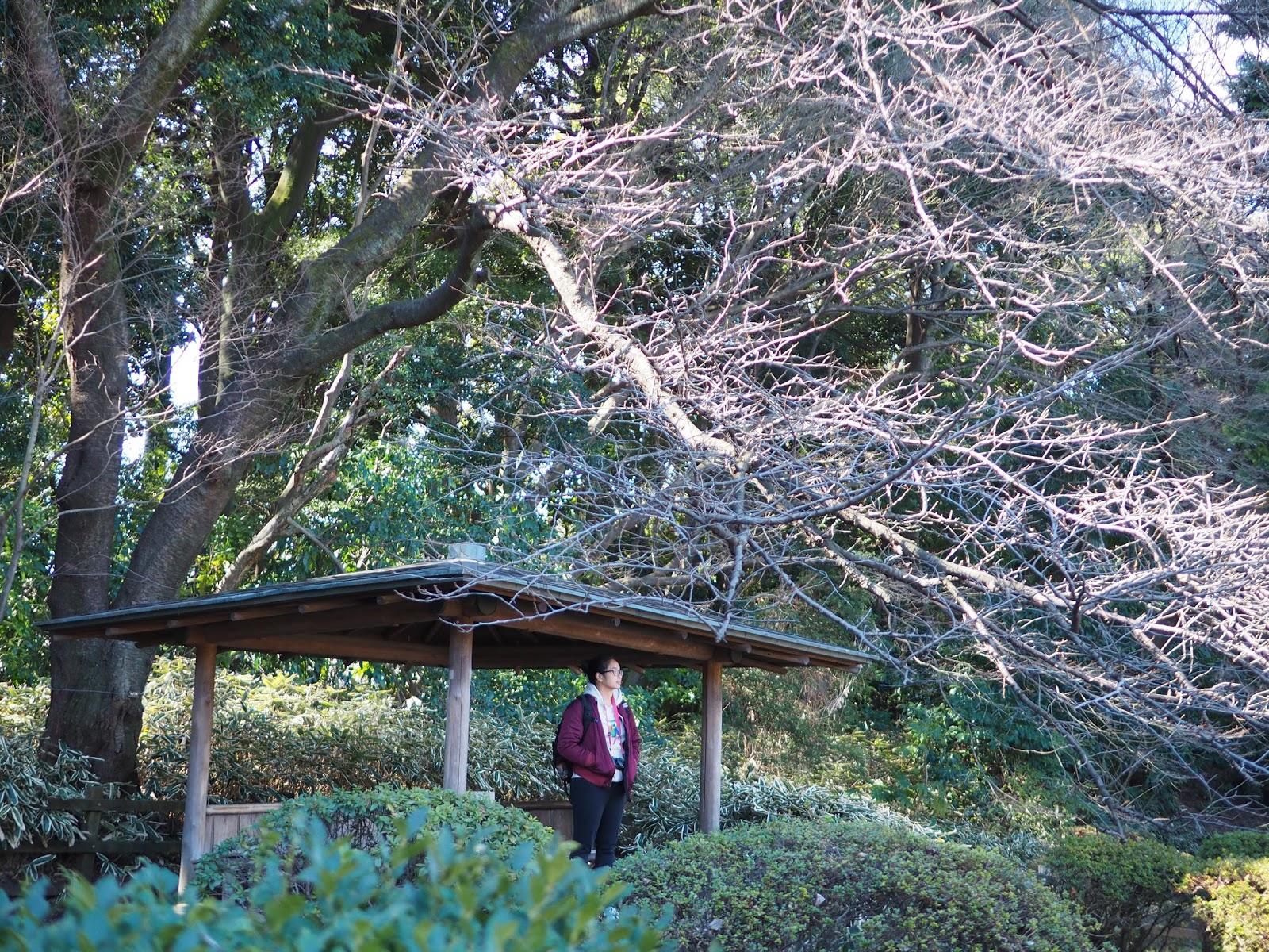 Shinjuku gyoen katsura tree rest stop