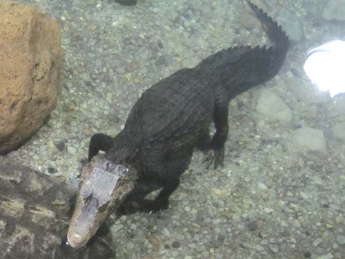 Cuvier's Smooth-Fronted Caiman