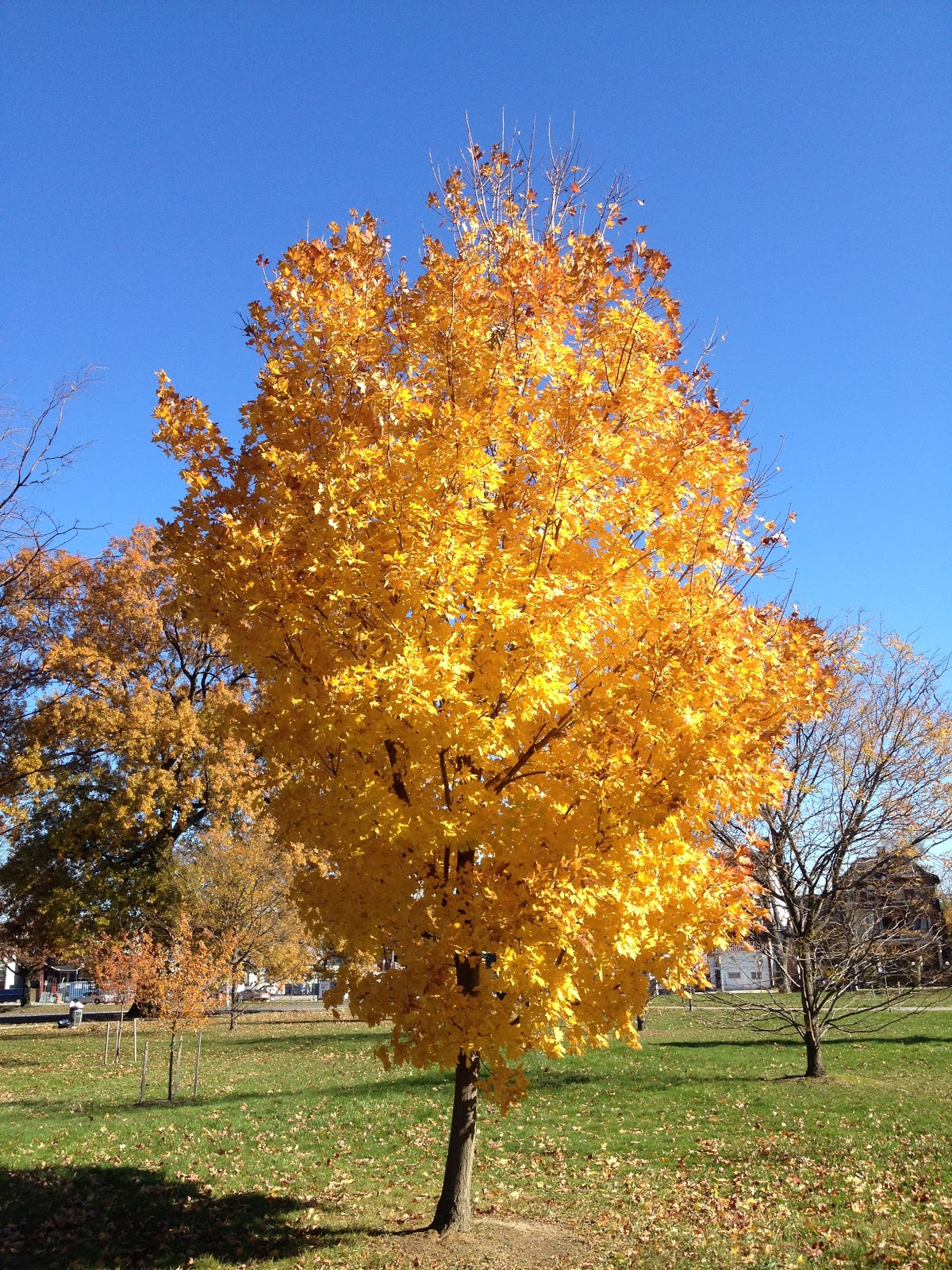 Trees Of The Oregon Garden: PHILLY TREES: CATCHING COLOR