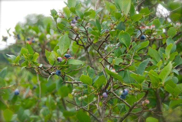 July is the month for pick-your-own blueberries in PA, zone 5.