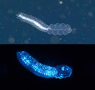 bioluminescent deep sea animal