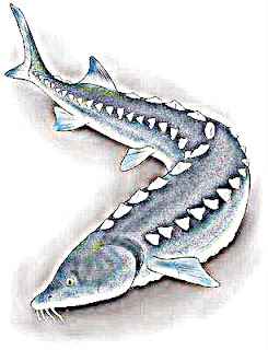 Great White Sturgeon Amazing Facts