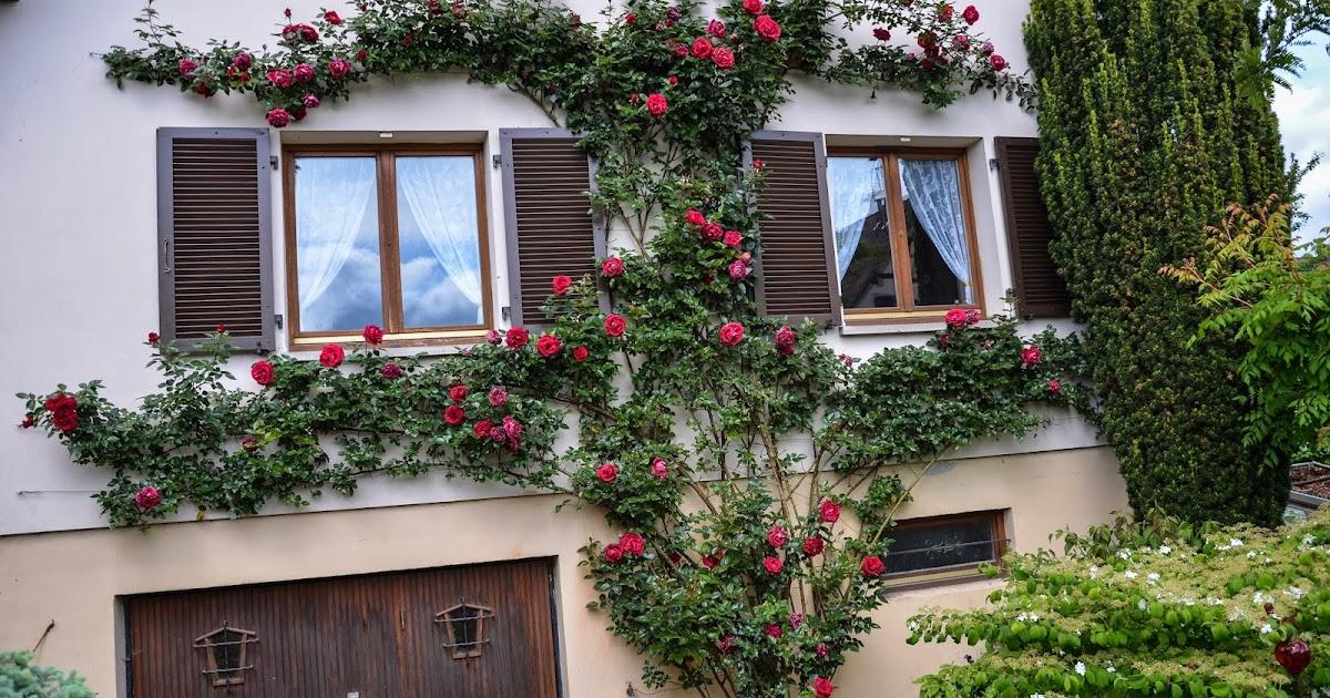 le jardin de daphn e la taille de notre rosier grimpant. Black Bedroom Furniture Sets. Home Design Ideas
