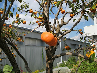 Persimmon tree in Japan