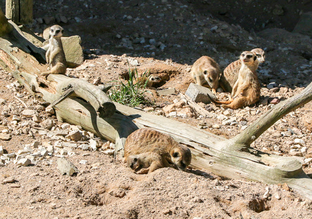 Hunsrück Wildpark Rheinböllen erdmännchen