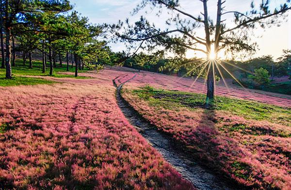 Đồi cỏ hồng tại suối Vàng Đà Lạt