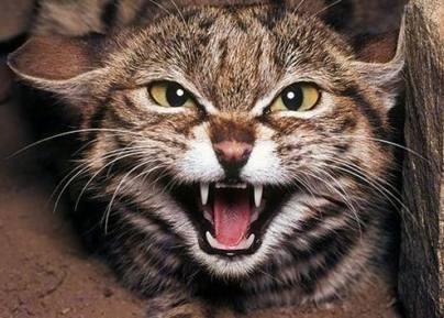 agresidad-gatos-causas-enfermedad-evento-traumatico