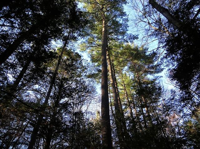 The Laurie Sanders White Pine on Broad Brook, Northampton MA