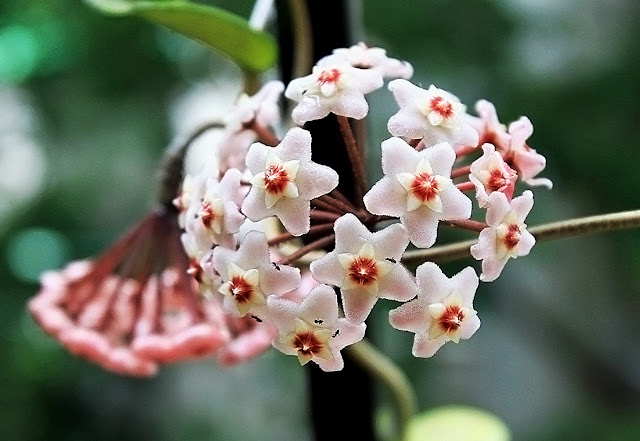 Flor clepia con hormigas