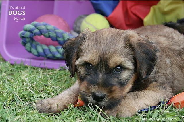 Nicht jeder Welpe wird mit viel Spielzeug und seinen Geschwistern groß. Dieser kleine Tibet Terrier hatte das Glück.