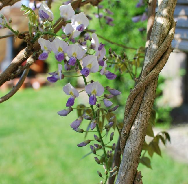purple and white wisteria