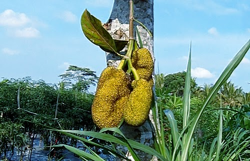 Epic travelers - Jackfruit, Gudeg Jogja Traditional Food