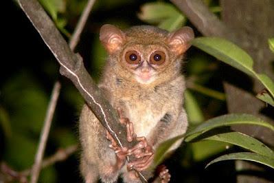 Gambar Flora Fauna Indonesia Tarsius Kalimantan Macam Jenis Fauna Nusantara