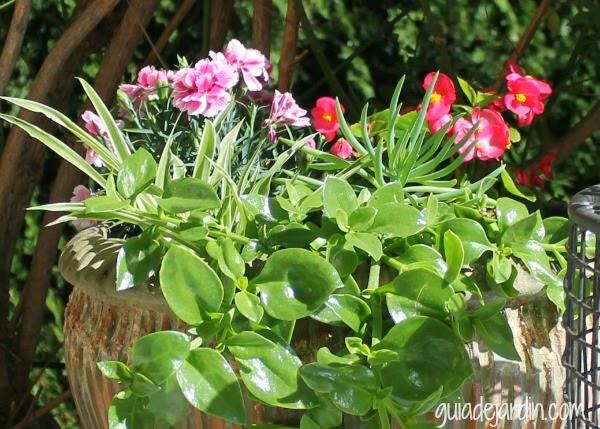 claveles y begonias