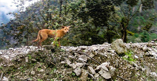 Cachorro mais raro do mundo - ele parecia extinto, só que não - Capa
